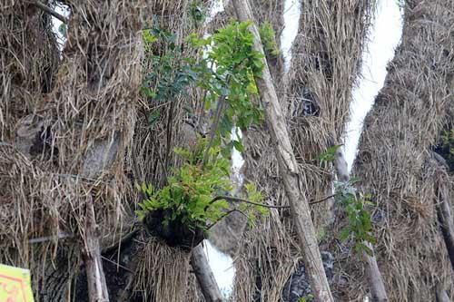 """HN: """"Cụ cây"""" Kim Mã đâm chồi, ra tán sau 4 tháng di dời - 5"""