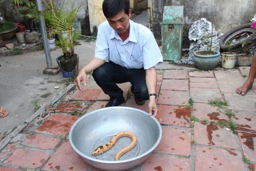 Người dân Bạc Liêu bắt được lươn vàng, chấm đen kỳ lạ - 2