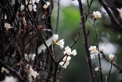 """Chiêm ngưỡng """"sứ giả"""" xinh đẹp của Nhật Bản tại Hà Nội - 5"""