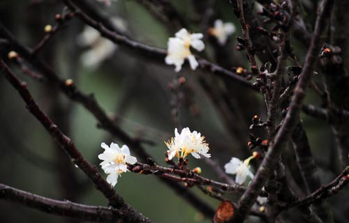 """Chiêm ngưỡng """"sứ giả"""" xinh đẹp của Nhật Bản tại Hà Nội - 13"""