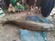Thế giới - Bắt được cá Amazon khổng lồ giá 3,3 tỷ đồng ở Myanmar