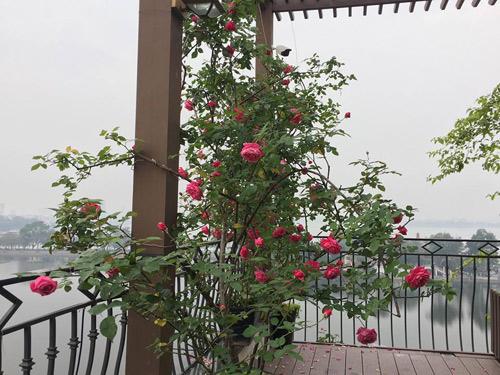 Không cần quà 8/3 vì có cả vườn hồng đẹp như mơ - 3