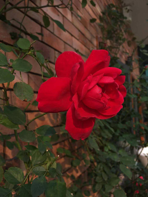 Không cần quà 8/3 vì có cả vườn hồng đẹp như mơ - 5