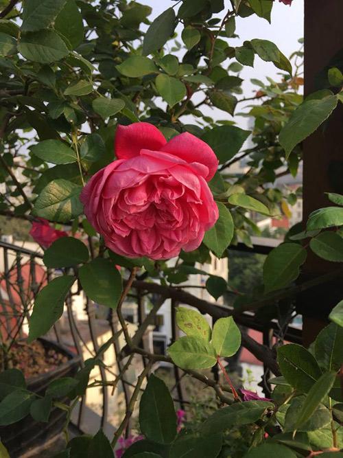 Không cần quà 8/3 vì có cả vườn hồng đẹp như mơ - 8