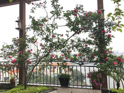 Không cần quà 8/3 vì có cả vườn hồng đẹp như mơ - 10