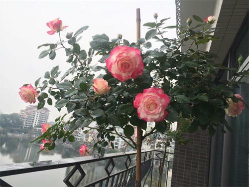 Không cần quà 8/3 vì có cả vườn hồng đẹp như mơ - 9