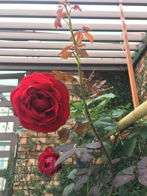 Không cần quà 8/3 vì có cả vườn hồng đẹp như mơ - 13