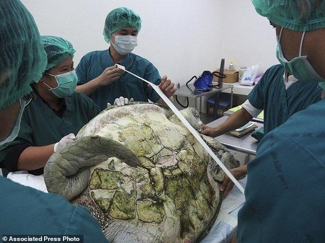 Mổ lấy gần nghìn đồng xu trong bụng rùa biển Thái Lan - 1