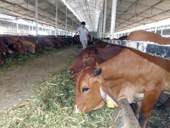 """Việt Nam """"bắt tay"""" nuôi bò Úc quy mô lớn - 1"""