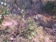 Thế giới - Video: Báo đốm tử chiến, đập chết trăn khổng lồ cứu con