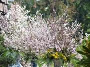 """Chiêm ngưỡng hoa anh đào tuyệt đẹp ở HN trước """"giờ G"""""""