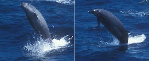 Lần đầu ghi hình sinh vật biển quý hiếm bậc nhất Trái đất - 2