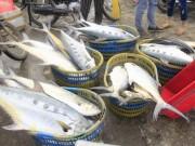 Thị trường - Tiêu dùng - Lần đầu tiên một ngư dân trúng đậm mẻ cá bè vàng 150 tấn