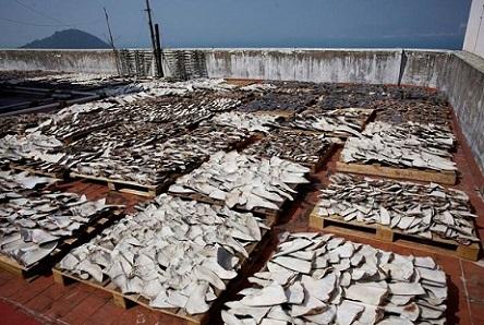 Sốc với hàng ngàn vây cá mập phơi kín sân thượng TQ - 2