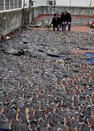 Sốc với hàng ngàn vây cá mập phơi kín sân thượng TQ - 3