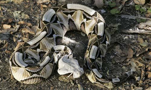 TP Mỹ báo động vì rắn hổ mang kịch độc sổng chuồng - 2