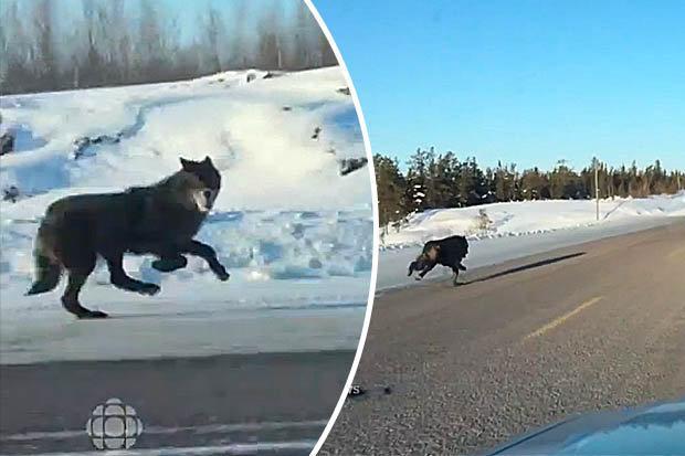 """Canada: Cô gái lái ô tô có 2 chó sói chạy theo """"hộ tống"""" - 1"""