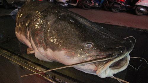 """Cá lăng """"khủng"""", râu dài gần 1m xuất hiện ở Hà Nội - 3"""