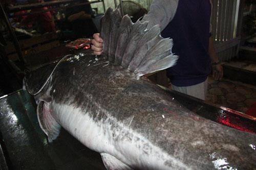 """Cá lăng """"khủng"""", râu dài gần 1m xuất hiện ở Hà Nội - 2"""