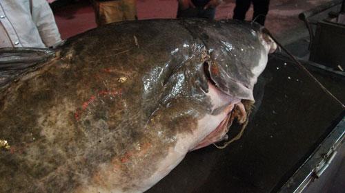 """Cá lăng """"khủng"""", râu dài gần 1m xuất hiện ở Hà Nội - 6"""