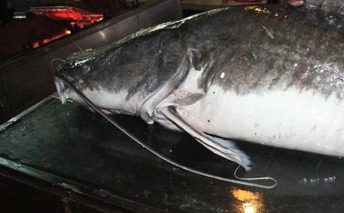 """Cá lăng """"khủng"""", râu dài gần 1m xuất hiện ở Hà Nội - 7"""