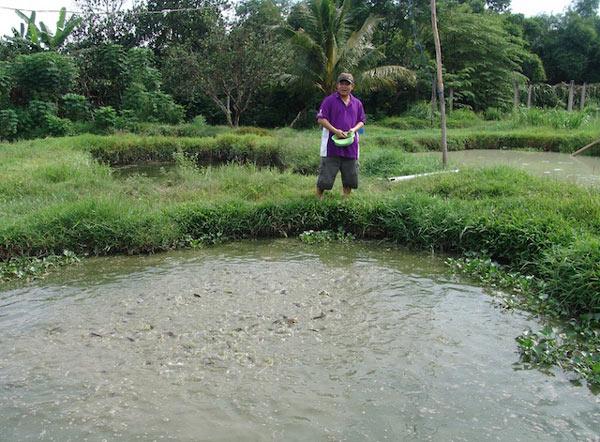 Bắt cá trê vàng đẻ… ra vàng chỉ trong 6 ngày - 3
