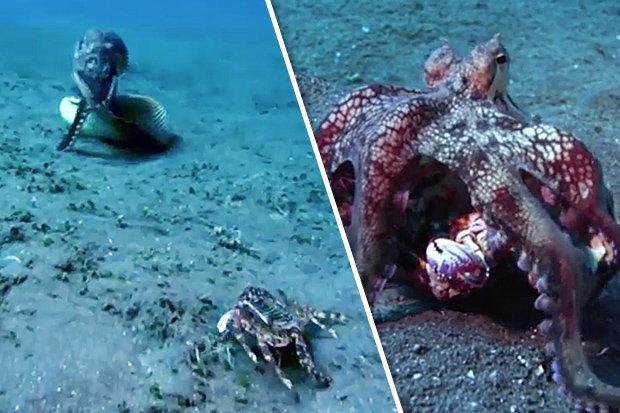 """Video: Tốc độ vồ mồi kinh hoàng của bạch tuộc """"sát thủ"""" - 1"""