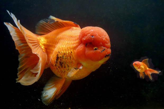 """Cá vàng """"khủng"""" nhất nước Anh giá gần 130 triệu đồng - 1"""
