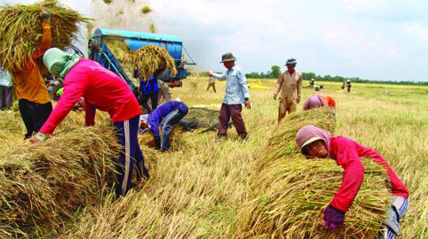 Gạo Việt thua thiệt vì ám ảnh... cứu đói - 1