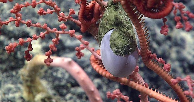 Bí ẩn vật thể lạ như trứng gà dưới biển sâu - 1