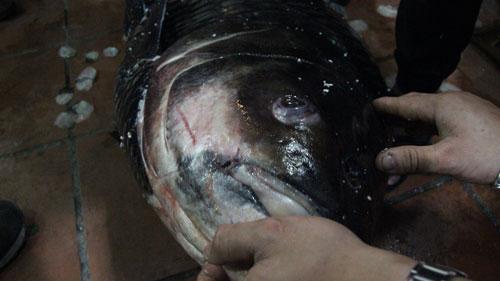 """""""Rước"""" cá hô 20 năm tuổi từ sông Tiền về Hà Nội - 6"""