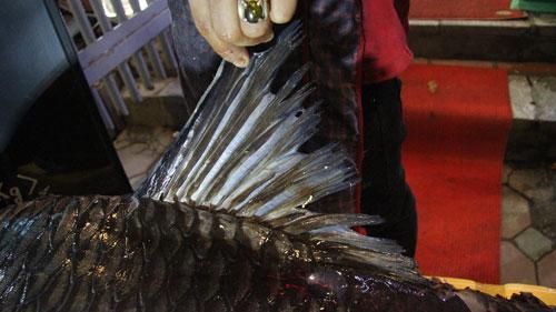 """""""Rước"""" cá hô 20 năm tuổi từ sông Tiền về Hà Nội - 5"""