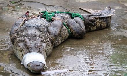 Cá sấu rớt giá, người nuôi lao đao - 1
