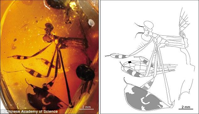 Chuồn chuồn tình tay ba kẹt 100 triệu năm trong hổ phách - 1