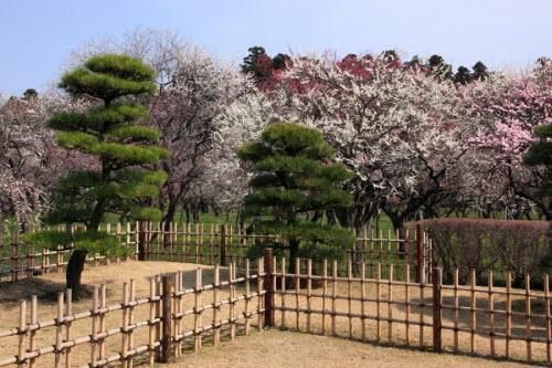 Mê mẩn khu vườn hàng nghìn cây hoa mận bung nở rực rỡ - 2