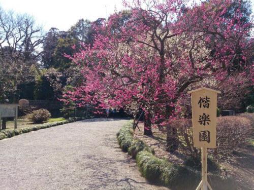 Mê mẩn khu vườn hàng nghìn cây hoa mận bung nở rực rỡ - 3