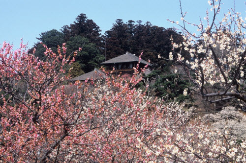 Mê mẩn khu vườn hàng nghìn cây hoa mận bung nở rực rỡ - 4