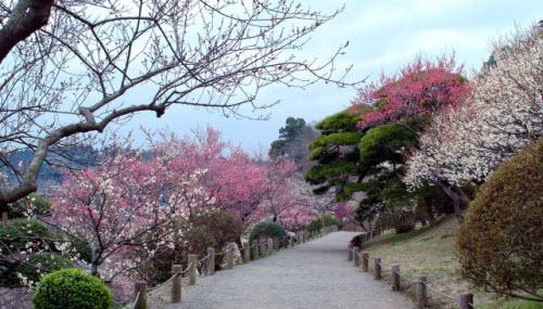 Mê mẩn khu vườn hàng nghìn cây hoa mận bung nở rực rỡ - 8