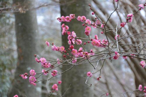 Mê mẩn khu vườn hàng nghìn cây hoa mận bung nở rực rỡ - 9