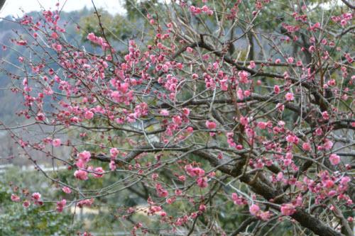 Mê mẩn khu vườn hàng nghìn cây hoa mận bung nở rực rỡ - 10