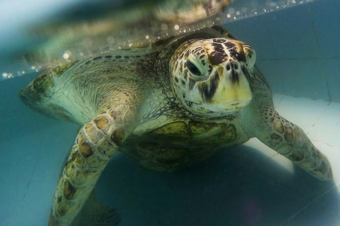 Kết cục của rùa biển Thái Lan nuốt gần nghìn đồng xu - 3