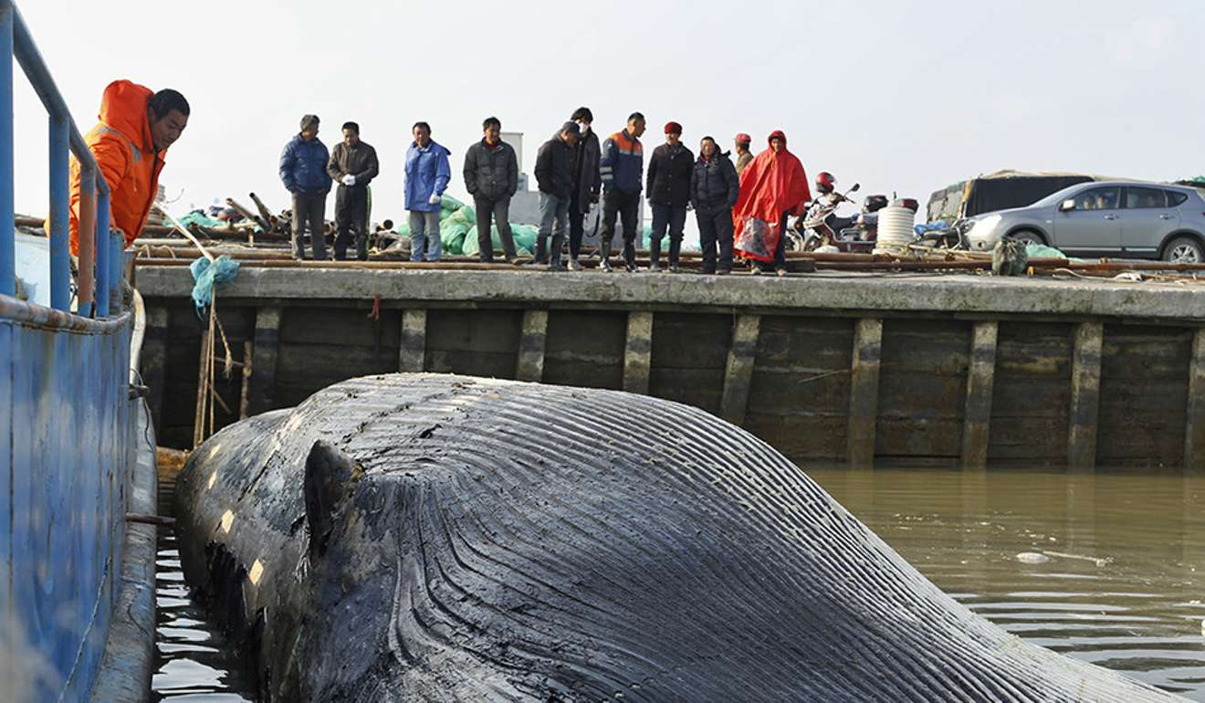 Xác cá voi 20 tấn không đầu, không vây dạt cảng TQ - 1