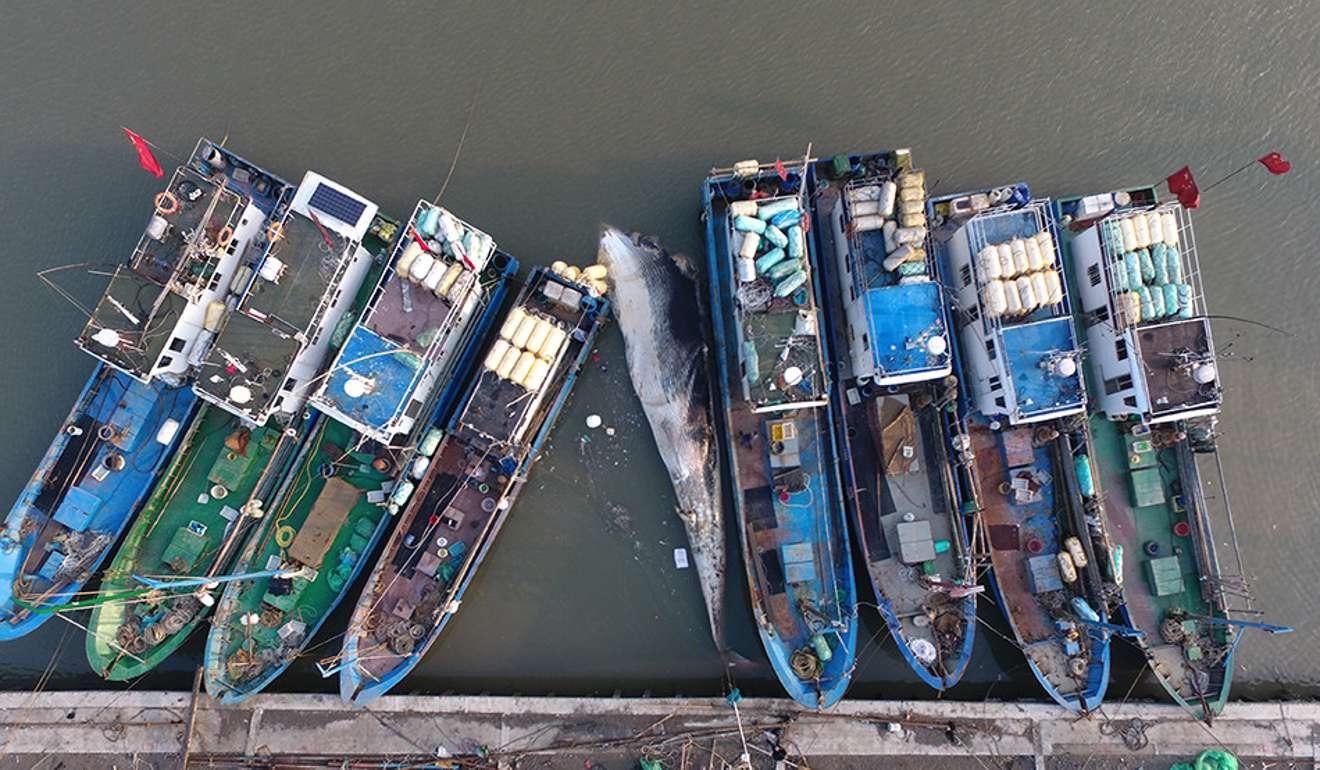 Xác cá voi 20 tấn không đầu, không vây dạt cảng TQ - 3