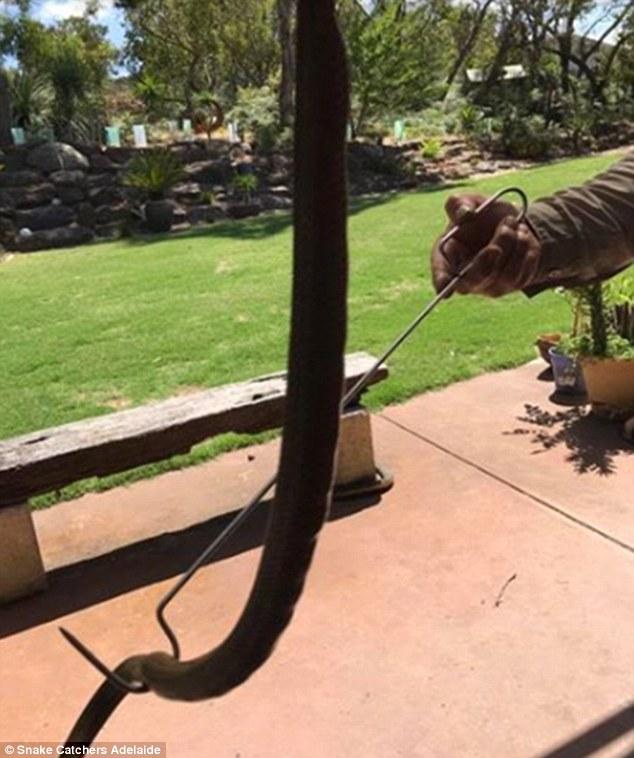 Sởn gai ốc cảnh 14 rắn nâu nhung nhúc chui ra khỏi trứng - 3