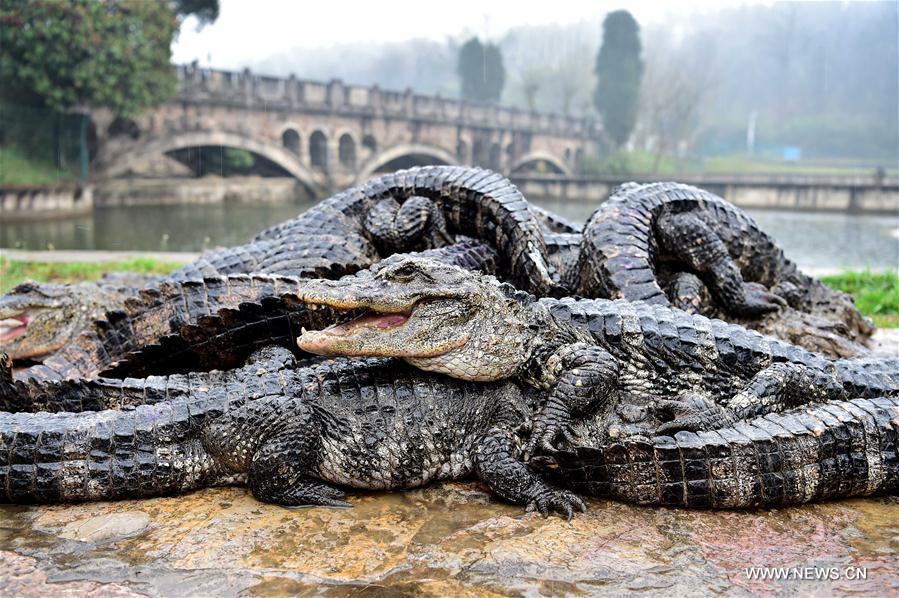 """TQ: Hết rét, """"xách cổ"""" 13.000 cá sấu ra ngoài tắm nắng - 1"""