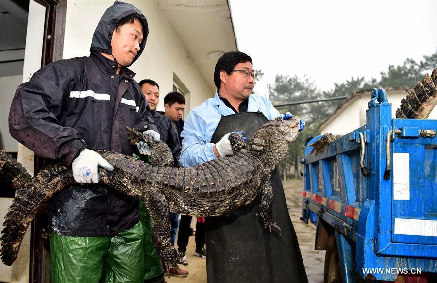 """TQ: Hết rét, """"xách cổ"""" 13.000 cá sấu ra ngoài tắm nắng - 3"""