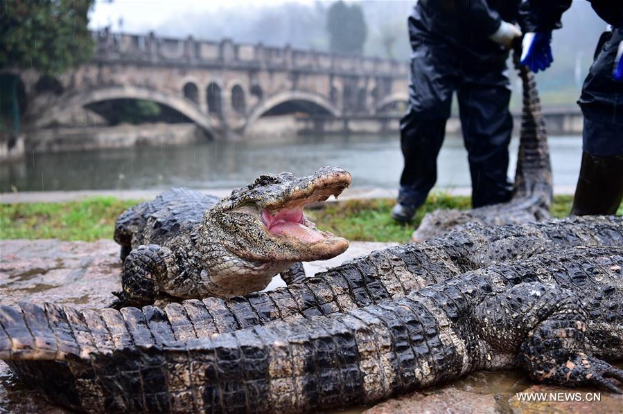 """TQ: Hết rét, """"xách cổ"""" 13.000 cá sấu ra ngoài tắm nắng - 6"""
