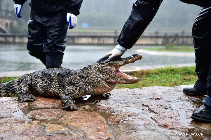 """TQ: Hết rét, """"xách cổ"""" 13.000 cá sấu ra ngoài tắm nắng - 8"""
