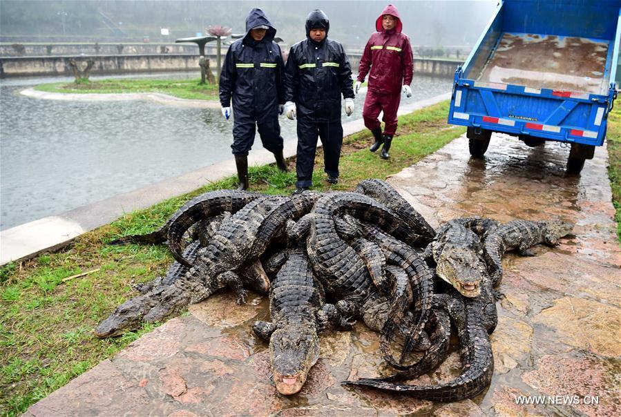"""TQ: Hết rét, """"xách cổ"""" 13.000 cá sấu ra ngoài tắm nắng - 7"""