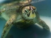 Kết cục của rùa biển Thái Lan nuốt gần nghìn đồng xu